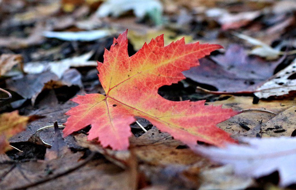 Leaf in Stratford Park